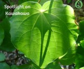 Spotlight on Kawakawa